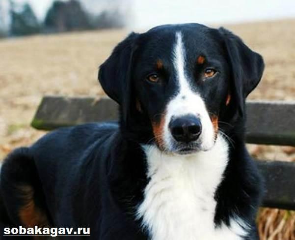 Аппенцеллер-собака-Описание-особенности-уход-и-цена-аппенцеллера-12