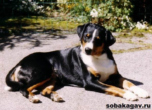 Аппенцеллер-собака-Описание-особенности-уход-и-цена-аппенцеллера-2