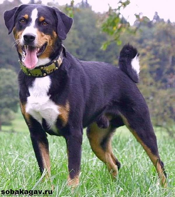 Аппенцеллер-собака-Описание-особенности-уход-и-цена-аппенцеллера-3