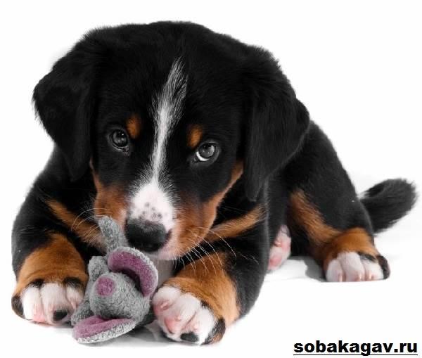 Аппенцеллер-собака-Описание-особенности-уход-и-цена-аппенцеллера-5