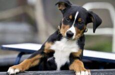 Аппенцеллер собака. Описание, особенности, уход и цена аппенцеллера
