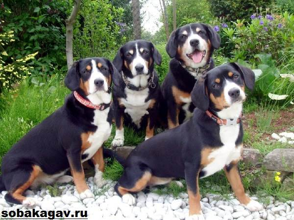 Аппенцеллер-собака-Описание-особенности-уход-и-цена-аппенцеллера-7