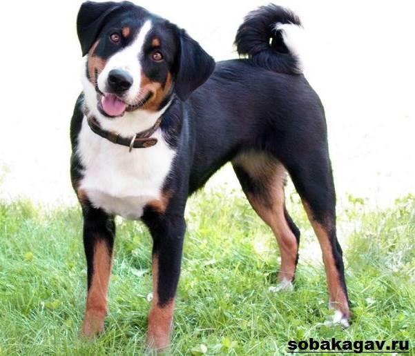 Аппенцеллер-собака-Описание-особенности-уход-и-цена-аппенцеллера-9