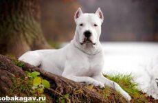 Аргентинский дог собака. Описание, особенности, уход и цена аргентинского дога