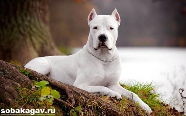 Аргентинский-дог-собака-Описание-особенности-уход-и-цена-аргентинского-дога-1