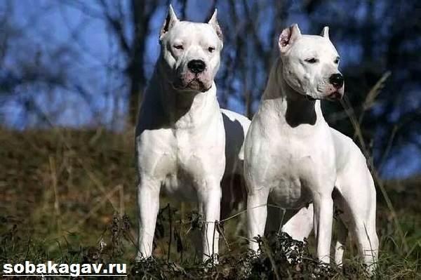 Аргентинский-дог-собака-Описание-особенности-уход-и-цена-аргентинского-дога-4
