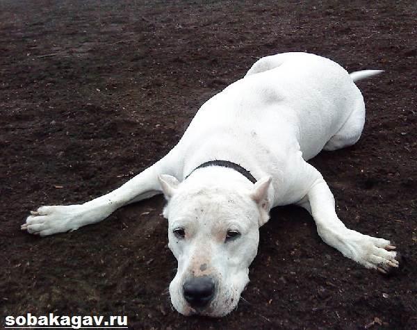 Аргентинский-дог-собака-Описание-особенности-уход-и-цена-аргентинского-дога-5