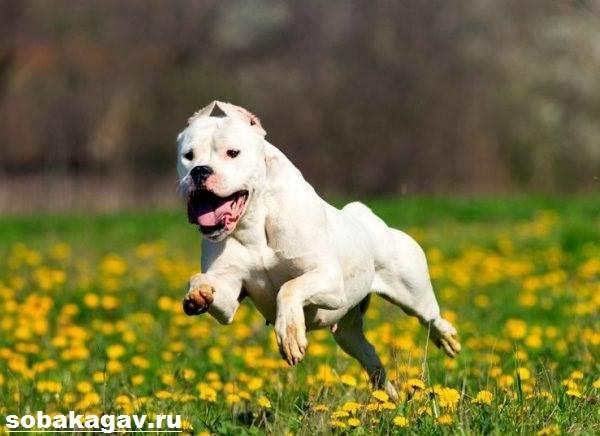 Аргентинский-дог-собака-Описание-особенности-уход-и-цена-аргентинского-дога-9