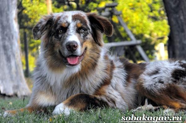 Австралийская-овчарка-собака-Описание-особенности-уход-и-цена-австралийской-овчарки-1