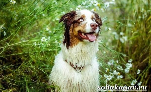 Австралийская-овчарка-собака-Описание-особенности-уход-и-цена-австралийской-овчарки-11