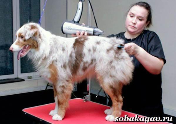 Австралийская-овчарка-собака-Описание-особенности-уход-и-цена-австралийской-овчарки-2