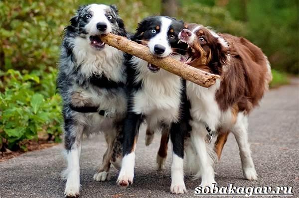 Австралийская-овчарка-собака-Описание-особенности-уход-и-цена-австралийской-овчарки-3