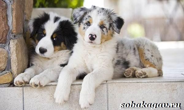Австралийская-овчарка-собака-Описание-особенности-уход-и-цена-австралийской-овчарки-5