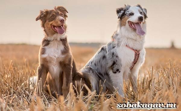 Австралийская-овчарка-собака-Описание-особенности-уход-и-цена-австралийской-овчарки-9
