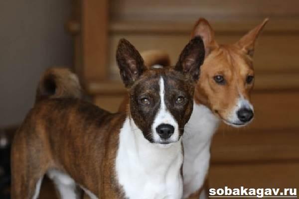 Басенджи-собака-Описание-особенности-уход-и-цена-породы-басенджи-1