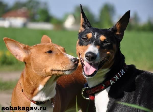 Басенджи-собака-Описание-особенности-уход-и-цена-породы-басенджи-10
