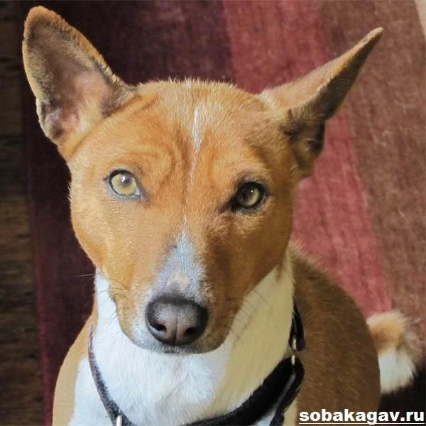 Басенджи-собака-Описание-особенности-уход-и-цена-породы-басенджи-2