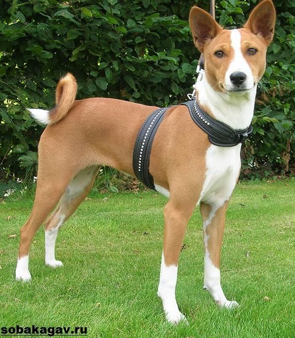 Басенджи-собака-Описание-особенности-уход-и-цена-породы-басенджи-3