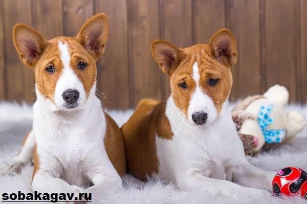 Басенджи-собака-Описание-особенности-уход-и-цена-породы-басенджи-4
