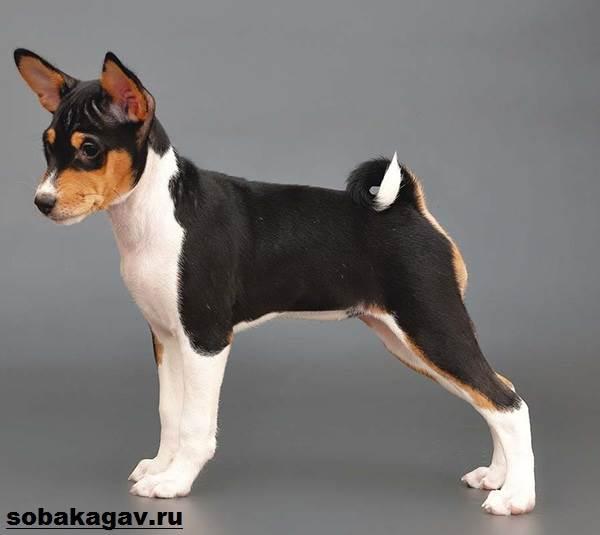 Басенджи-собака-Описание-особенности-уход-и-цена-породы-басенджи-5