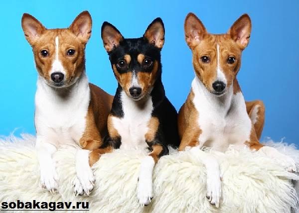 Басенджи-собака-Описание-особенности-уход-и-цена-породы-басенджи-6