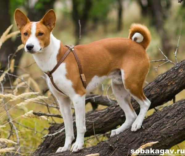 Басенджи-собака-Описание-особенности-уход-и-цена-породы-басенджи-7