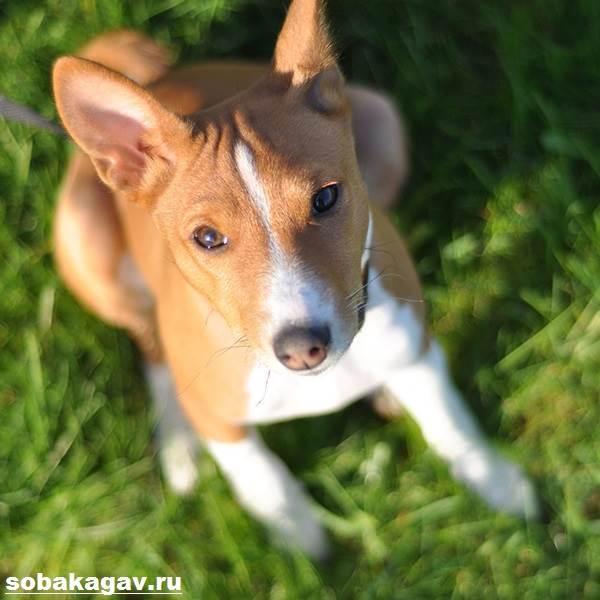 Басенджи-собака-Описание-особенности-уход-и-цена-породы-басенджи-8