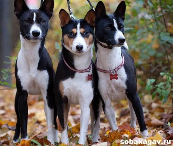 Басенджи-собака-Описание-особенности-уход-и-цена-породы-басенджи-9