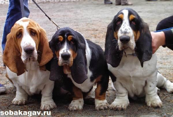 Бассет-хаунд-собака-Описание-особенности-уход-и-цена-бассет-хаунда-1