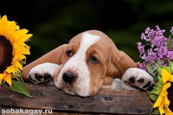 Бассет-хаунд-собака-Описание-особенности-уход-и-цена-бассет-хаунда-11