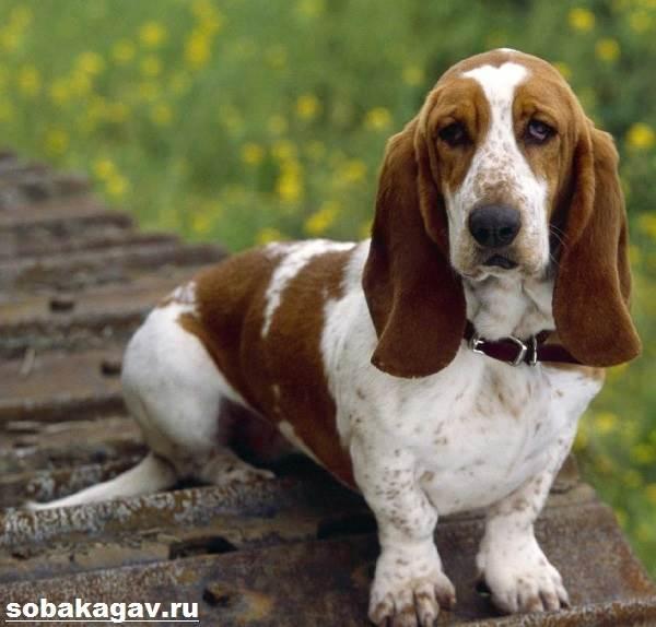 Бассет-хаунд-собака-Описание-особенности-уход-и-цена-бассет-хаунда-2