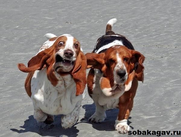 Бассет-хаунд-собака-Описание-особенности-уход-и-цена-бассет-хаунда-3