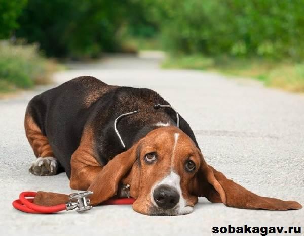 Бассет-хаунд-собака-Описание-особенности-уход-и-цена-бассет-хаунда-4