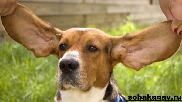 Бассет-хаунд-собака-Описание-особенности-уход-и-цена-бассет-хаунда-5