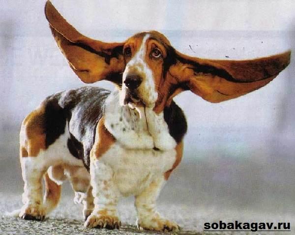 Бассет-хаунд-собака-Описание-особенности-уход-и-цена-бассет-хаунда-6
