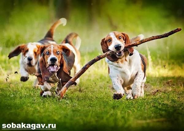 Бассет-хаунд-собака-Описание-особенности-уход-и-цена-бассет-хаунда-8