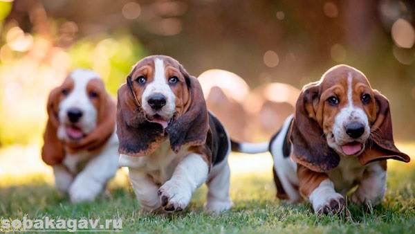 Бассет-хаунд-собака-Описание-особенности-уход-и-цена-бассет-хаунда-9