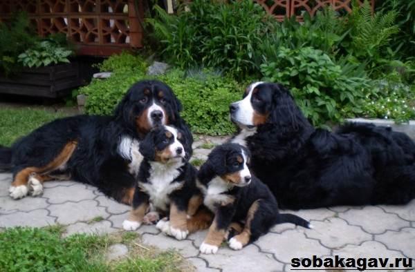 Бернский-зенненхунд-собака-Описание-особенности-уход-и-цена-породы-1