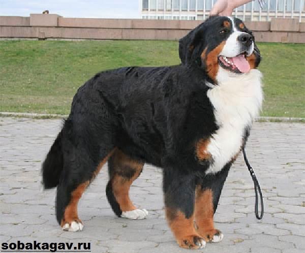 Бернский-зенненхунд-собака-Описание-особенности-уход-и-цена-породы-10