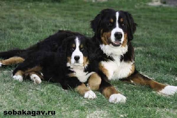 Бернский-зенненхунд-собака-Описание-особенности-уход-и-цена-породы-2