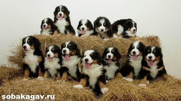 Бернский-зенненхунд-собака-Описание-особенности-уход-и-цена-породы-7