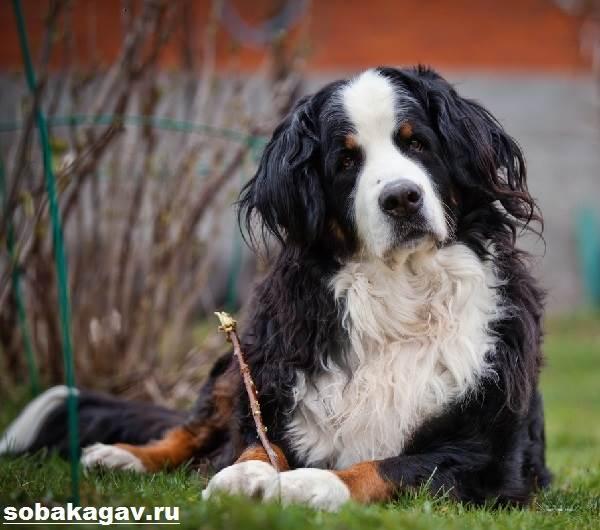 Бернский-зенненхунд-собака-Описание-особенности-уход-и-цена-породы-8