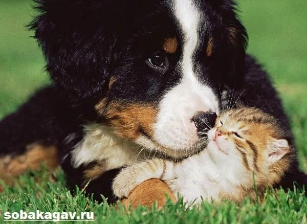 Бернский-зенненхунд-собака-Описание-особенности-уход-и-цена-породы-9