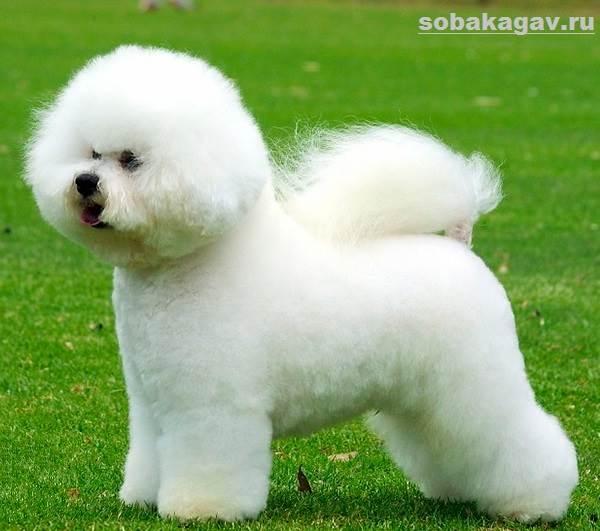 Бишон-фризе-собака-Описание-особенности-уход-и-цена-бишон-фризе-1
