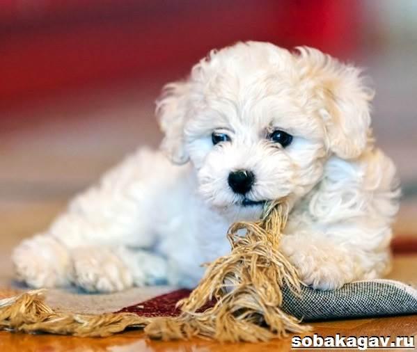 Бишон-фризе-собака-Описание-особенности-уход-и-цена-бишон-фризе-10