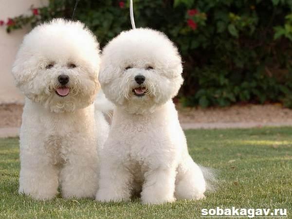 Бишон-фризе-собака-Описание-особенности-уход-и-цена-бишон-фризе-2