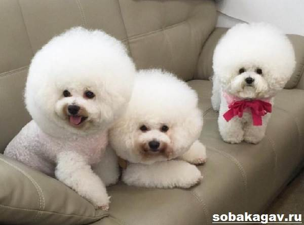 Бишон-фризе-собака-Описание-особенности-уход-и-цена-бишон-фризе-3