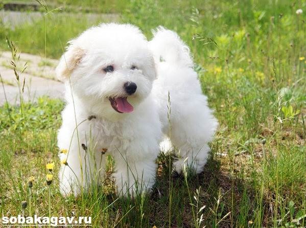 Бишон-фризе-собака-Описание-особенности-уход-и-цена-бишон-фризе-4