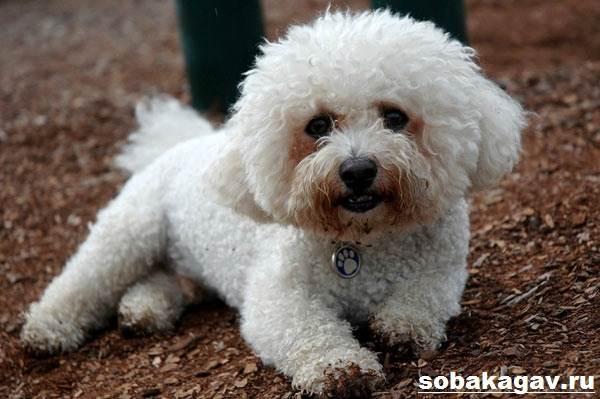 Бишон-фризе-собака-Описание-особенности-уход-и-цена-бишон-фризе-5