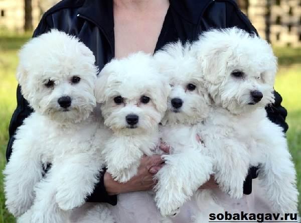 Бишон-фризе-собака-Описание-особенности-уход-и-цена-бишон-фризе-6